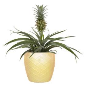 Asda Ornamental Pineapple Plant Asda Groceries